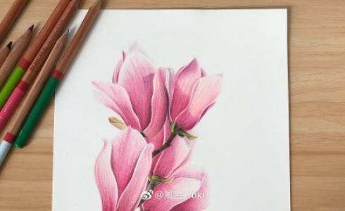 彩铅画玉兰花